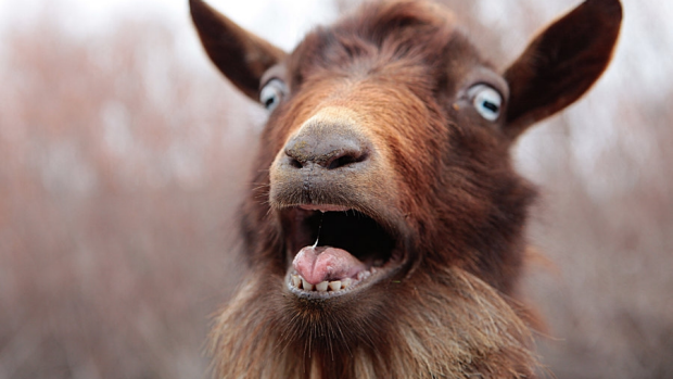 Article image for Moreland council are using goats to assist with their weed management strategy