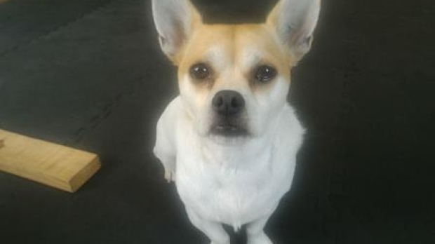 Article image for Pet dog Howie stolen at Preston, found outside Lalor plaza and returned