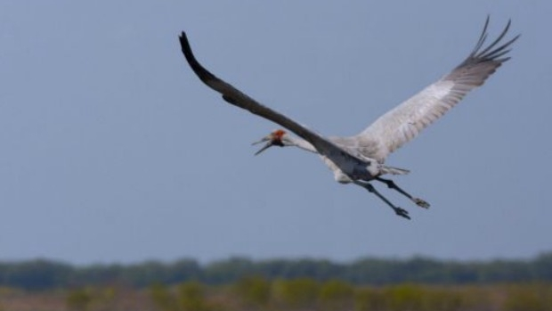 Article image for New wind farm near Dundonell to take into account brolga bird's plight
