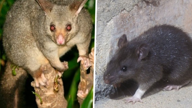 Article image for New Zealand planning to exterminate all rats and possums by 2050