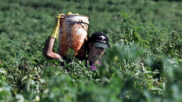Article image for Fruit picking jobs increasingly being taken up by backpackers