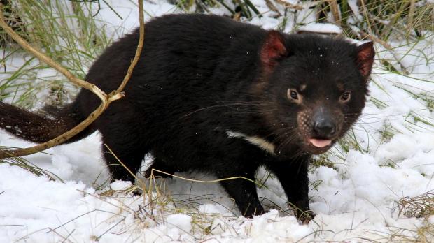 Article image for Researchers discover Tasmanian Devil milk kills golden staph
