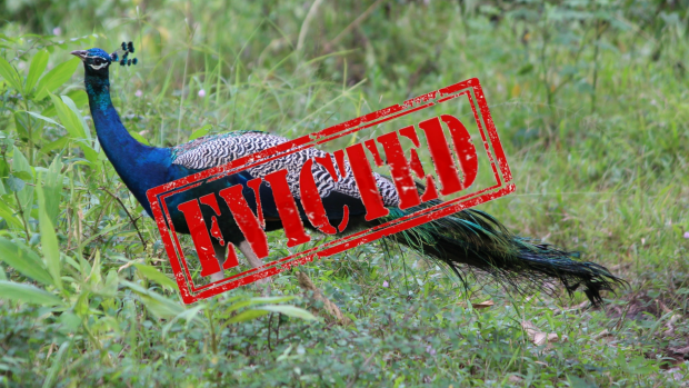 Article image for The peacock that was ordered out of town by Casey council