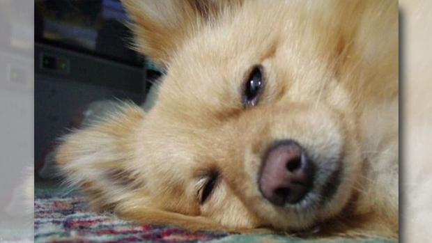 Article image for Kangaroo attacks and kills Monty the Pomeranian in his Keilor backyard