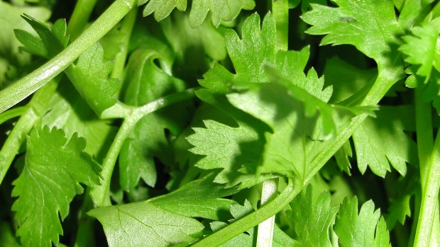 Article image for Deakin researchers have found our relationship with coriander is all to do with genetics!