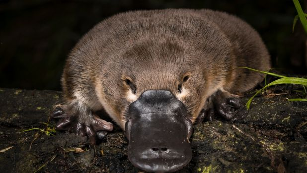 Article image for Platypus numbers in serious decline
