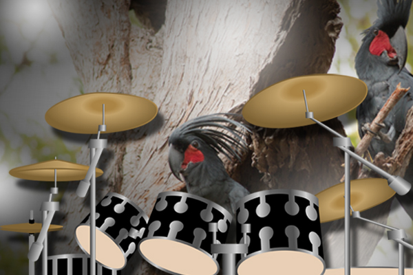 Article image for Drumming, wild cockatoos are a REAL thing…