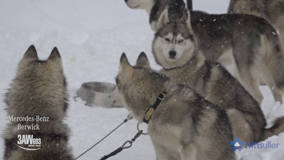 Article image for Meet the Mount Buller sled dogs