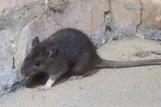 Article image for Melbourne set for rat attack