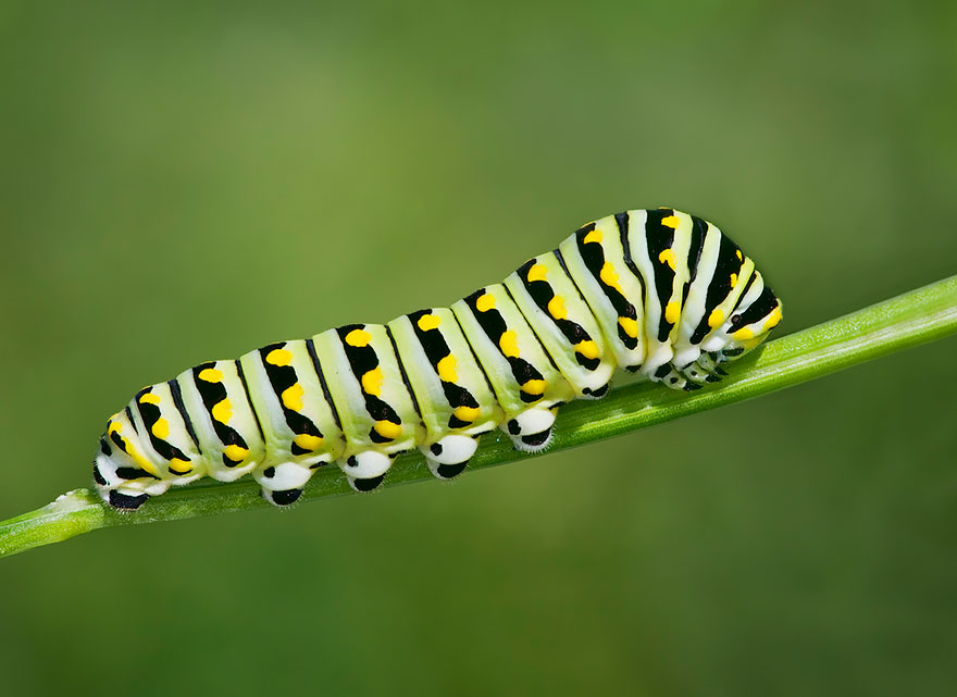 The Hungry Little Caterpillar