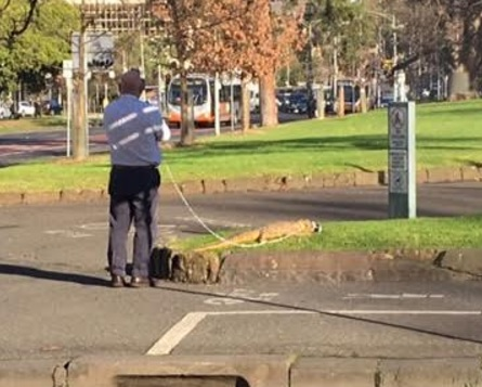 Article image for Real or fake? Crocodile on leash spotted in Carlton