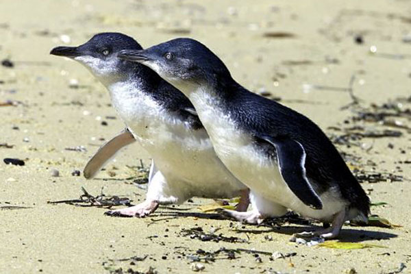 Article image for Foxes kill 70 Little Penguins near Warrnambool