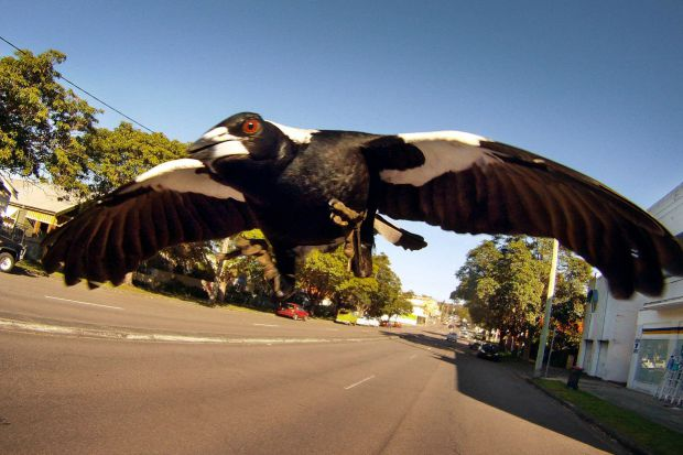 Article image for 'Worst' magpie season in 25 years predicted … and the birds aren't to blame!