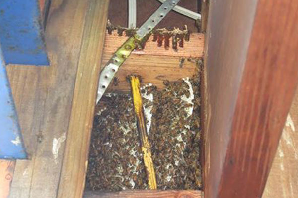 Article image for Bees making themselves at home in Newport