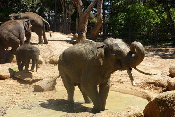 Article image for Much loved Melbourne Zoo elephant dies