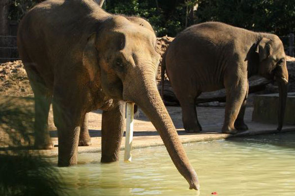 Article image for Bong Su's death shows zoos are 'no place' for elephants
