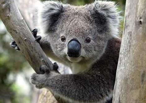"""Article image for Why the royals won't be able to pose for a """"koala selfie"""" when they visit"""