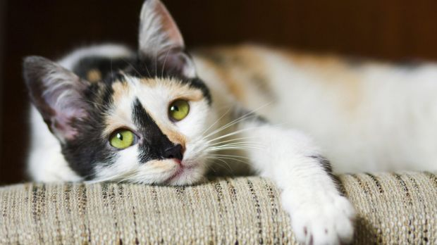 Article image for Furry felines in Monash on notice as council imposes cat curfew