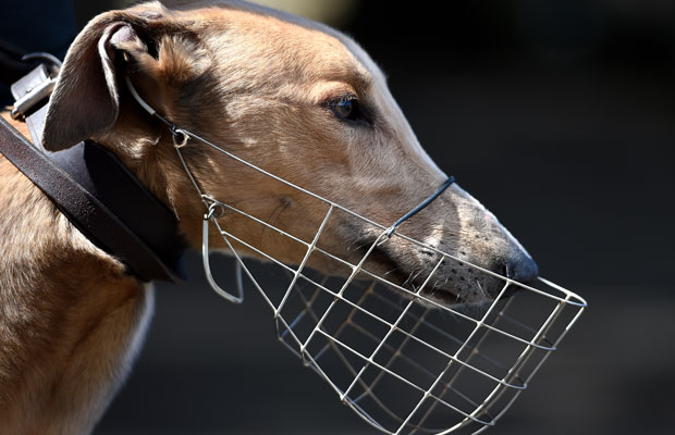 Article image for Review into greyhound laws branded 'half-baked' and 'illogical'