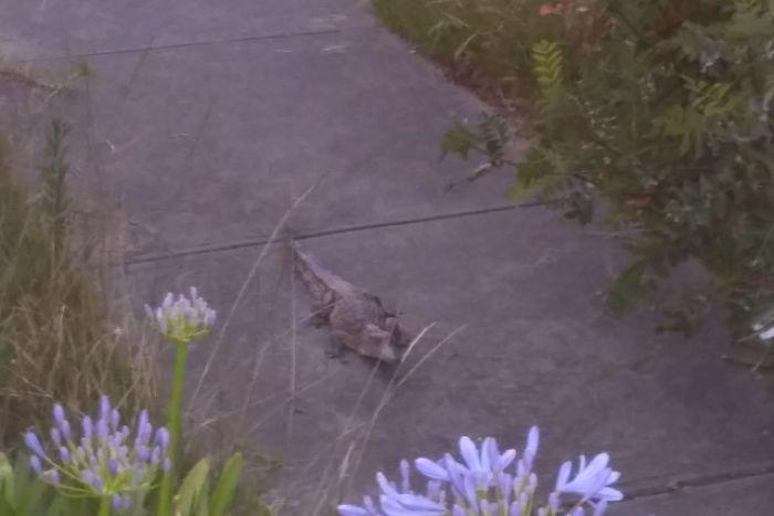 Article image for Crocodile found on Heidelberg footpath