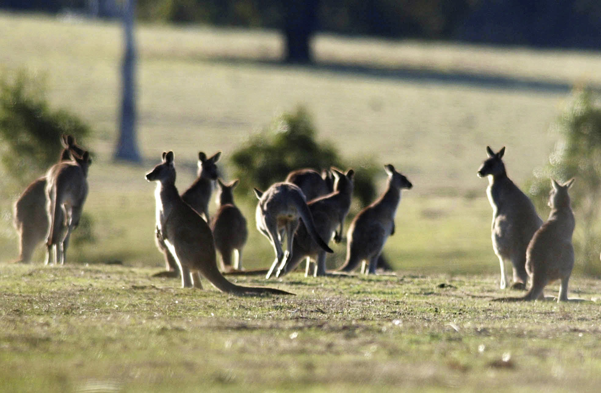Article image for 'We need to be very careful' with kangaroo population