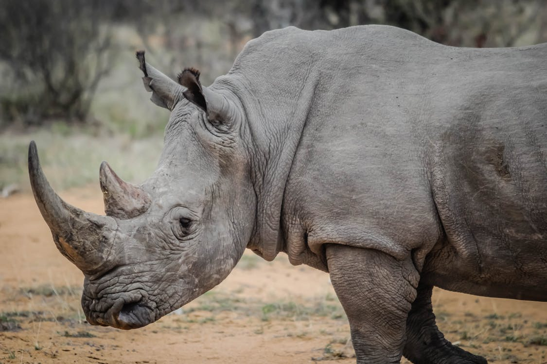 Article image for Regional Victorian Zoo to become home to Southern White Rhinos