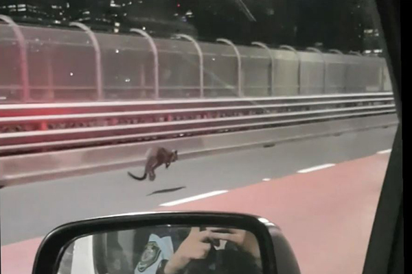 Wallaby on the Sydney Harbour Bridge
