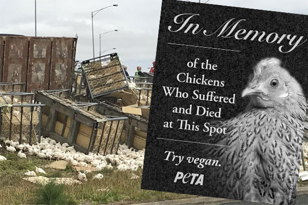 Article image for PETA calls for roadside memorial for chickens killed in truck crash