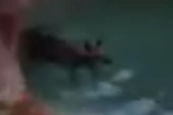 Article image for Kangaroo caught cooling off in suburban backyard pool