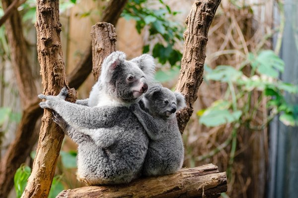 Article image for Is it illegal to cuddle a koala?