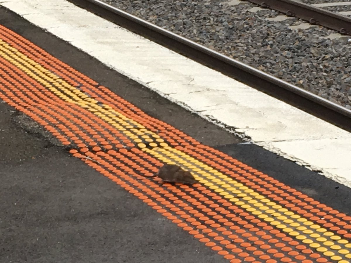 Article image for Drats! Looks like the rats are here, Melbourne…