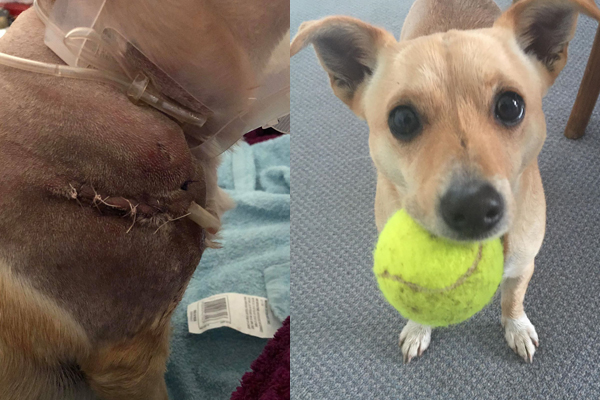 Article image for Vicious dog's owner goes missing after it attacked a smaller dog