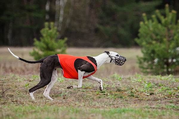 Article image for Exclusive | Muzzles coming off for greyhounds in Victoria
