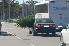 Yuk: Car stuffed with enormous plant gives new meaning to 'road spikes'