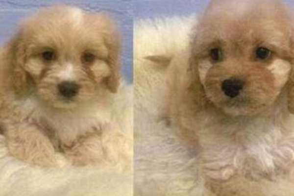 Article image for Cavoodles taken from Camberwell pet store found safe and well