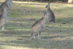 Police investigate after roo is spotted with arrow in its back