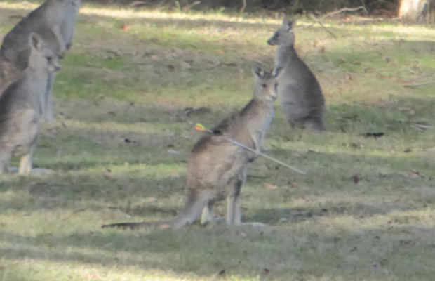 Article image for Police investigate after roo is spotted with arrow in its back