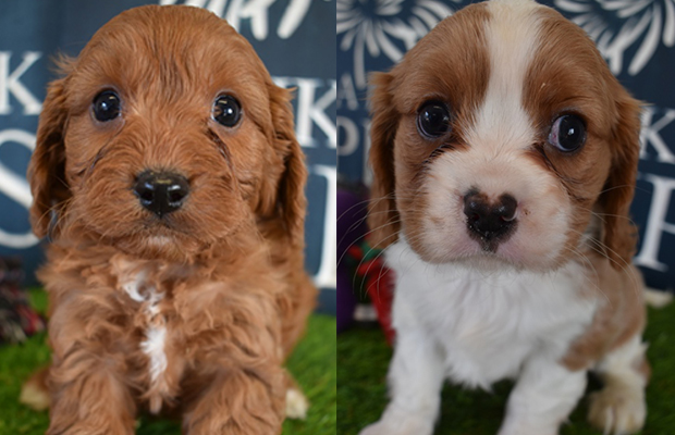 Article image for Puppies stolen by suspected animal activists found by police
