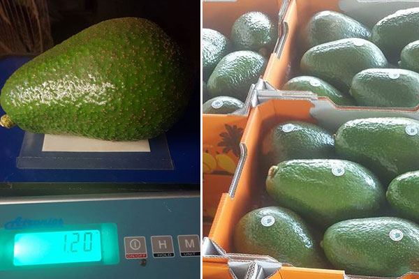 Article image for Meet the 'Avozilla': Giant avocados coming to supermarkets