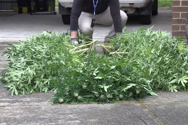 Article image for Police seize 657 cannabis plants in Melbourne's northern suburbs