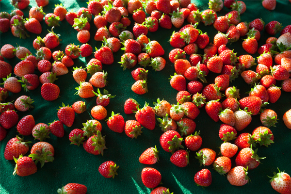 """Article image for """"It's brought our industry to its knees"""": Strawberry farms in crisis"""
