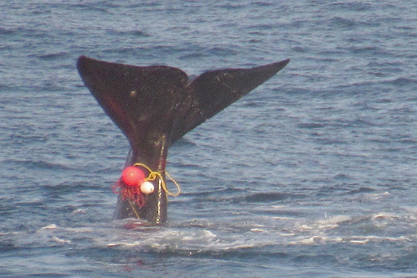 Article image for RUMOUR FILE: Authorities working to find entangled whale off Apollo Bay