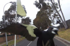 Magpies unleash swooping spree on postman!