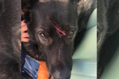 RUMOUR FILE: Pet dog 'Bear' savagely attacked with sharp object on Grand Final day