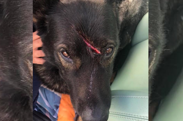 Article image for RUMOUR FILE: Pet dog 'Bear' savagely attacked with sharp object on Grand Final day