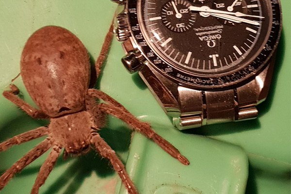 Article image for Creepy crawlies: Neil wants to know how you get rid of huntsman spiders