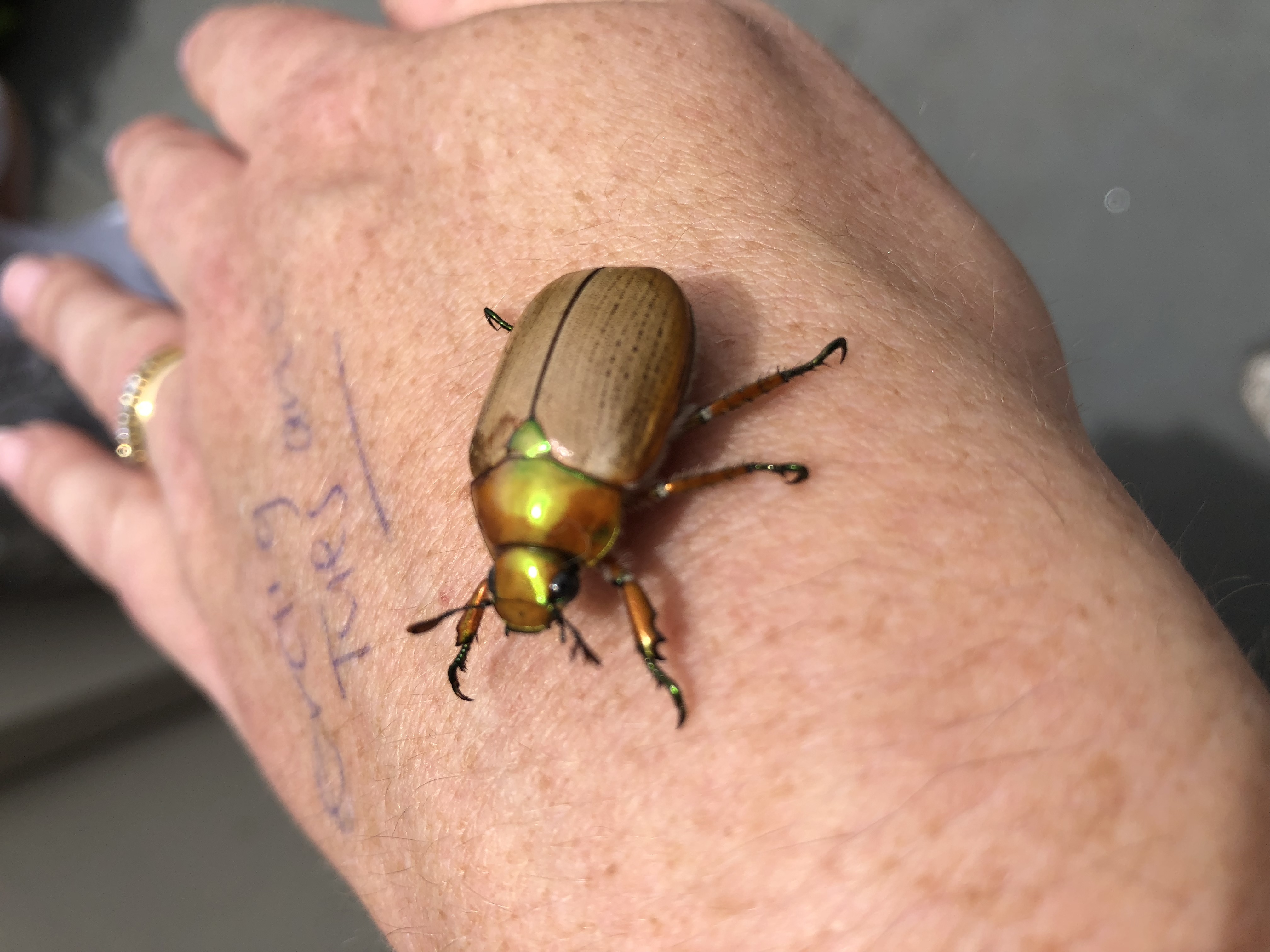 Christmas Beetle.Why You Haven T Seen Many Christmas Beetles This Year