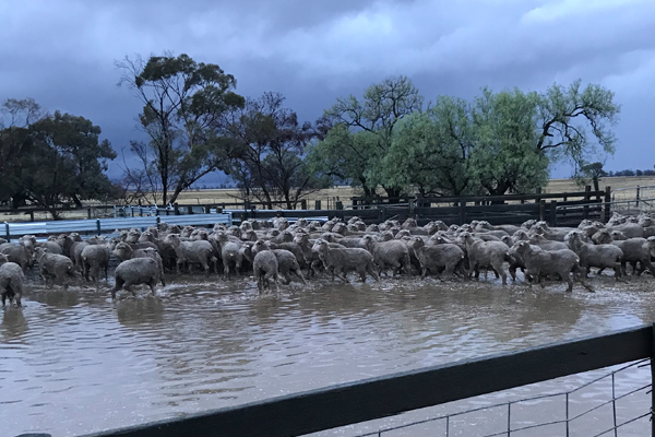 Farmers lose livestock in flooding caused by Thursday's downpour