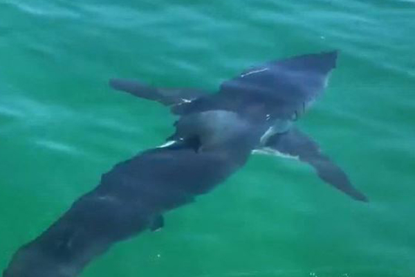 Article image for Sharks sighted off Mornington Peninsula, Cape Woolamai and Barwon Heads