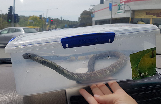 Article image for Tiger snake sends shopping centre carpark into chaos!